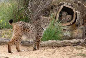 The lynx and its cubs find shelter in the cork oak